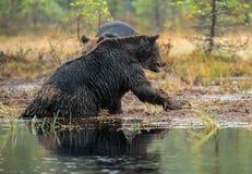 Um urso marrom no pântano Urso de Brown grande selvagem adulto Nome científico: Arctos do Ursus Habitat natural, estação do outon fotos de stock