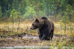 Um urso marrom no pântano Urso de Brown grande selvagem adulto Nome científico: Arctos do Ursus Habitat natural, estação do outon fotos de stock royalty free
