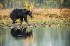 Um urso marrom no pântano Urso de Brown grande selvagem adulto Nome científico: Arctos do Ursus Habitat natural, estação do outon foto de stock