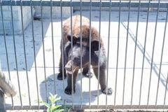 Um urso marrom olha os visitantes do jardim zoológico através de um grating do ferro Imagens de Stock