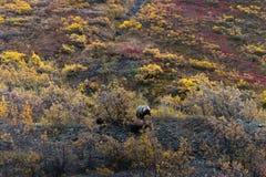 Um urso pardo na tundra de Alaska imagem de stock