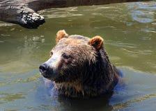 Um urso pardo toma uma nadada Imagens de Stock Royalty Free