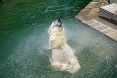 Um urso polar agita fora a água de Imagens de Stock