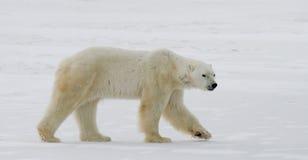 Um urso polar na tundra neve canadá fotos de stock