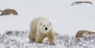 Um urso polar na tundra neve canadá fotografia de stock