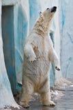 Um urso polar no jardim zoológico Fotos de Stock Royalty Free