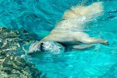 Respiração do urso polar Fotografia de Stock Royalty Free