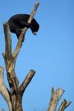 Um urso preto sobre uma árvore Fotografia de Stock