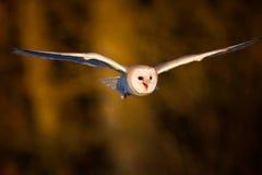 Um vôo da coruja de celeiro foto de stock royalty free