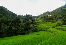 Um vale luxúria verde que cultiva o arroz fotos de stock