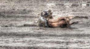 Um vaqueiro atraca-se um boi a uma terra muito sujo e enlameada rodeio no rio alto, Alberta fotos de stock royalty free