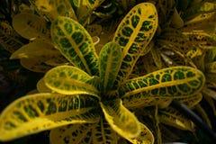 Um variegatum do Codiaeum fotos de stock