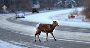 Um veado selvagem novo que cruza uma estrada Fotografia de Stock