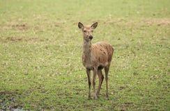 Um veado vermelho masculino novo traseiro Fotografia de Stock Royalty Free