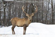 Um veado vermelho no fundo branco que alimenta na neve do inverno em Canadá foto de stock royalty free
