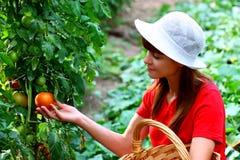 Um vegetal da colheita da mulher Foto de Stock Royalty Free