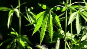 Um verde, grande folha do cannabis O retroiluminado, nivelando as folhas leves do cânhamo video estoque