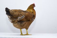 Um vermelho emplumou-se a galinha levanta-se em um tabletop resistido branco da placa Penas de cauda traseiras visíveis fotografia de stock