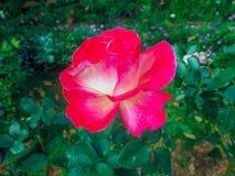 Um vermelho floresce com folhas verdes fotografia de stock