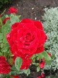 Um vermelho levantou-se com waterdrops Imagens de Stock