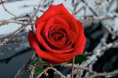 Um vermelho levantou-se no preto Imagens de Stock Royalty Free