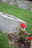 Um vermelho levantou-se por uma pedra grave Imagens de Stock Royalty Free