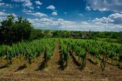 Um vinhedo. Fotografia de Stock Royalty Free