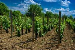 Um vinhedo. Imagens de Stock Royalty Free