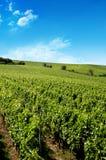 Um vinhedo alemão perto do rhe Fotografia de Stock Royalty Free