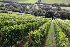 Um vinhedo do vinho Fotos de Stock Royalty Free