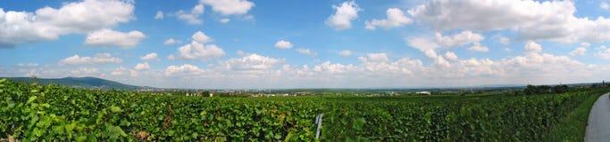 um vinhedo na Baixa Áustria Imagem de Stock