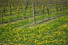 Um vinhedo na mola com o prado coberto pelo dente-de-leão floresce fotos de stock royalty free