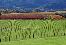Um vinhedo no outono Imagem de Stock