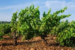 Um vinhedo no vale de Rhone perto de Avignon em França Foto de Stock Royalty Free
