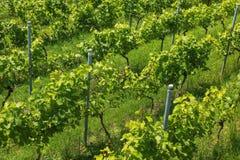 Um vinhedo pequeno em Suíça ao fim de junho Foto de Stock Royalty Free