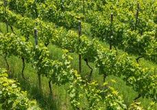 Um vinhedo pequeno em Suíça ao fim de junho Fotos de Stock