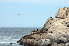 Um viveiro de leões de mar do sul em Vina del Mar Foto de Stock Royalty Free