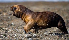Um viveiro do leão de mar do bebê Close-up Península Valdes argentina Imagem de Stock Royalty Free