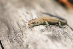 Um vivipara comum de Zootoca do Lacerta do lagarto do bebê bonito que aquece-se em um log Fotos de Stock Royalty Free