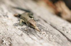 Um vivipara comum de Zootoca do Lacerta do lagarto do bebê bonito que come um inseto em um log Imagem de Stock Royalty Free