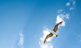 Um voo da gaivota Fotos de Stock Royalty Free