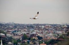 Um voo da gaivota em Istambul Fotos de Stock Royalty Free