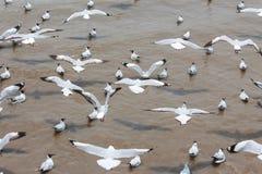 Um voo de cabeça negra da gaivota imagem de stock royalty free