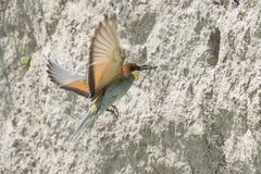 Um voo do pássaro do comedor de abelha com uma libélula Imagem de Stock