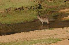 Um Waterbuck masculino em um rio pequeno no parque nacional de Kruger, África do Sul foto de stock