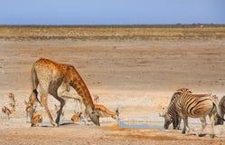 Um waterhole ocupado no parque nacional de Etosha Fotos de Stock Royalty Free