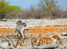 Um waterhole vibrante no parque nacional de Etosha Fotografia de Stock