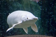 Um wh branco da espátula de Atractosteus do peixe-agulha do jacaré da neve rara da platina imagens de stock royalty free