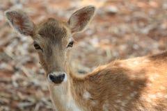 Um whitetail-cervo da jovem corça Fotografia de Stock Royalty Free