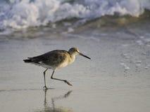Um willet (tipo de borrelho) na praia Imagem de Stock